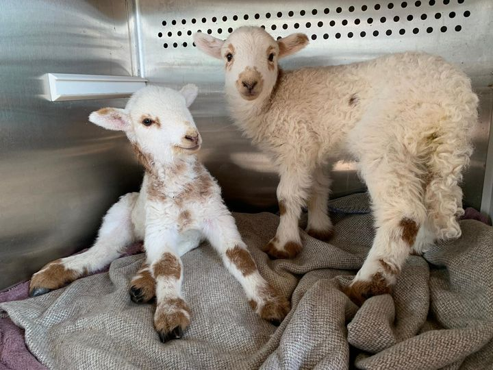 Lambs rescued